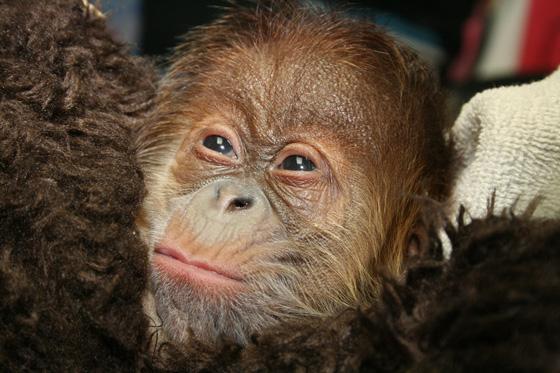 Sedgwick_county_zoo_orangutan-5