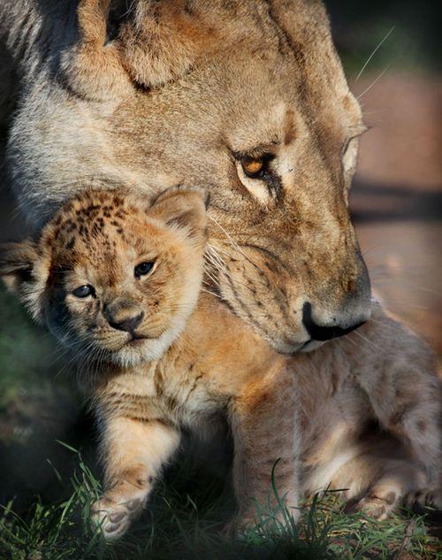 Monarto Zoo Lion Cub