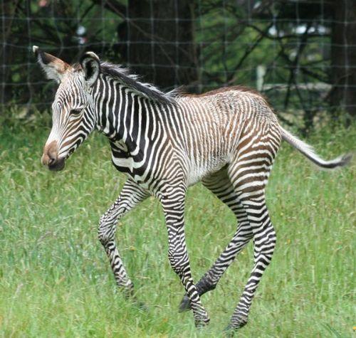 Zebra 1 CU