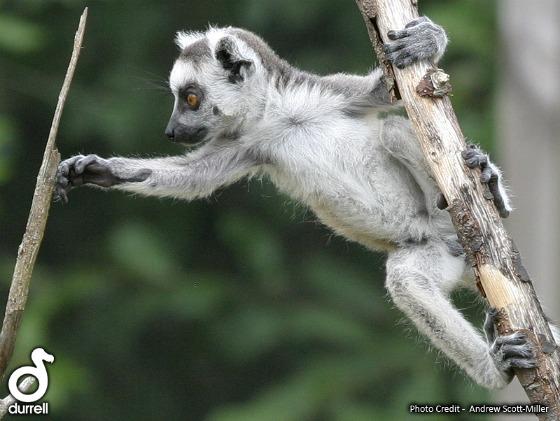 Baby lemurs  ll09 web