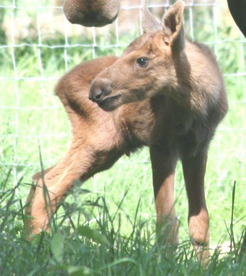Moose calf CU web