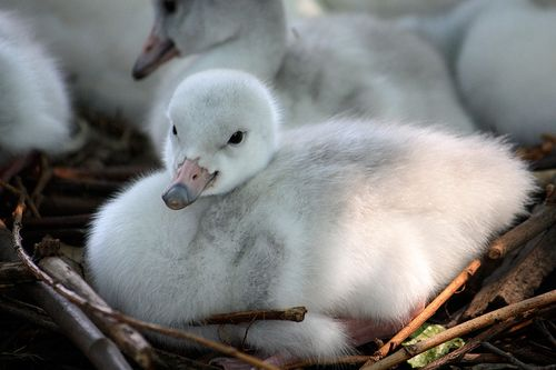 Trumpeter Swan Cygnets Cleveland Metroparks Zoo 5