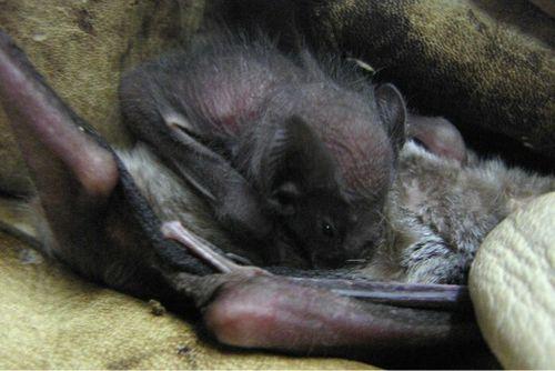 Vampire bat baby crop