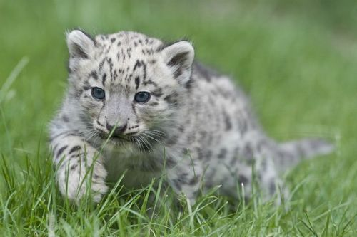 Snow Leopard Cub Stalking at Zoo Basel