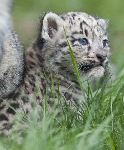 Snow Leopard Cub Zoo Basel Profile 3