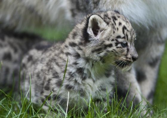 Snow Leopard Cub Zoo Basel Profile 2