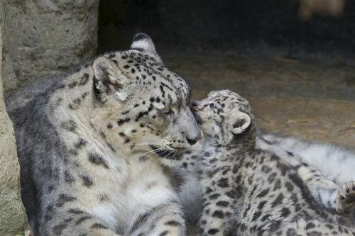 Snow Leopard Cub Sniffs Mom at Zoo Basel 2