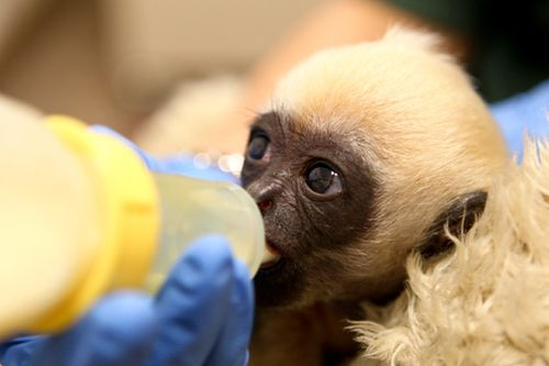 Gibbon-PerthZoo14