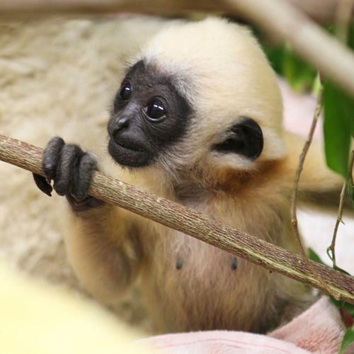 Gibbon-PerthZoo15