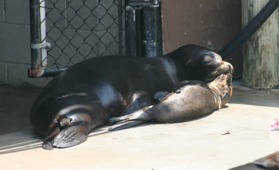 Sea Lion Pup June 20112 x