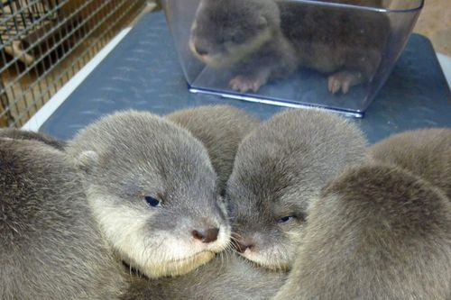 SB-Zoo-Otter-Pups-3-2011-credit-Sheri-Horiszny