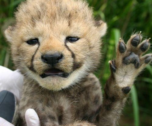 Cheetah paw 1