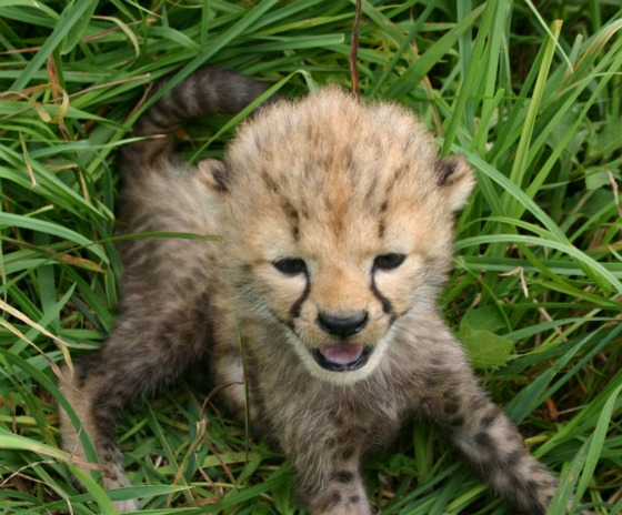 Cheetah in grass 1