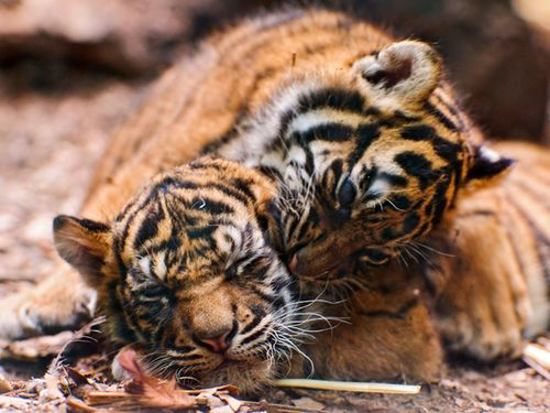 Frankfurt-Zoo-Tiger-Cubs--4