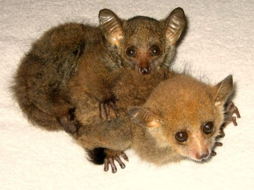 Greater Bushbabies 1