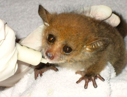 Greater Bushbabies from the Greater Bushbaby Research Center 3