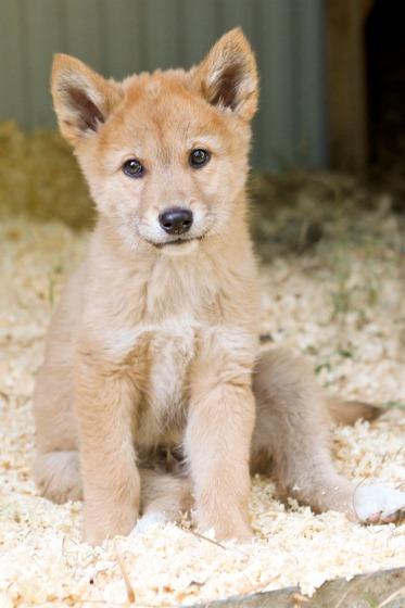 Dingo puppies cute - photo#13