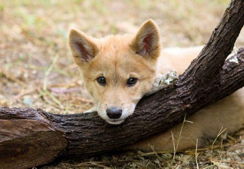 Dingo1 x