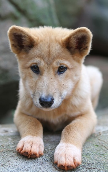 Dingo5 x