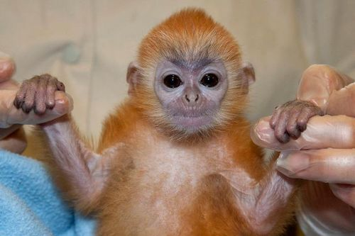 San Diego Zoo Silver Leaf Monkey 1