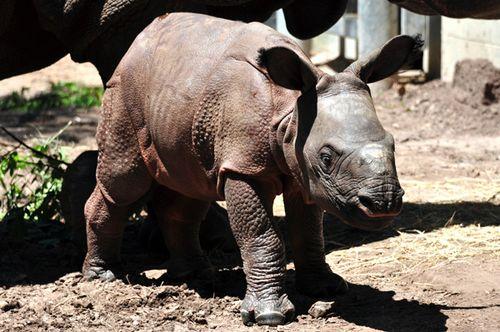 Rhino_Lowry_Park_Zoo