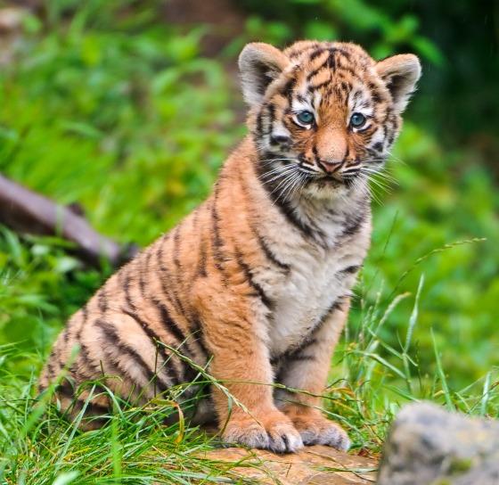 Siberian Tiger Cubs at Zurich Zoo - ZooBorns Cute Siberian Tiger Cubs