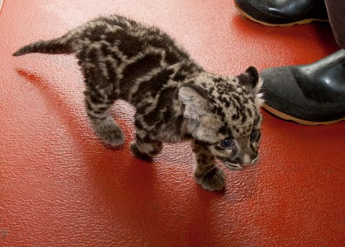 National-Zoo-Clouded-Leopard-Cub-2