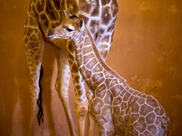 Zoo-Atlanta-Giraffe-