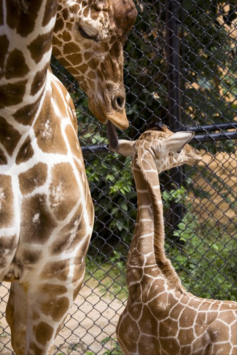Zoo-Atlanta-Giraffe-Calf-2