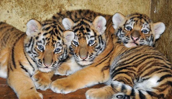 Three Little Stars In Budapest Amur Tiger Cubs Zooborns
