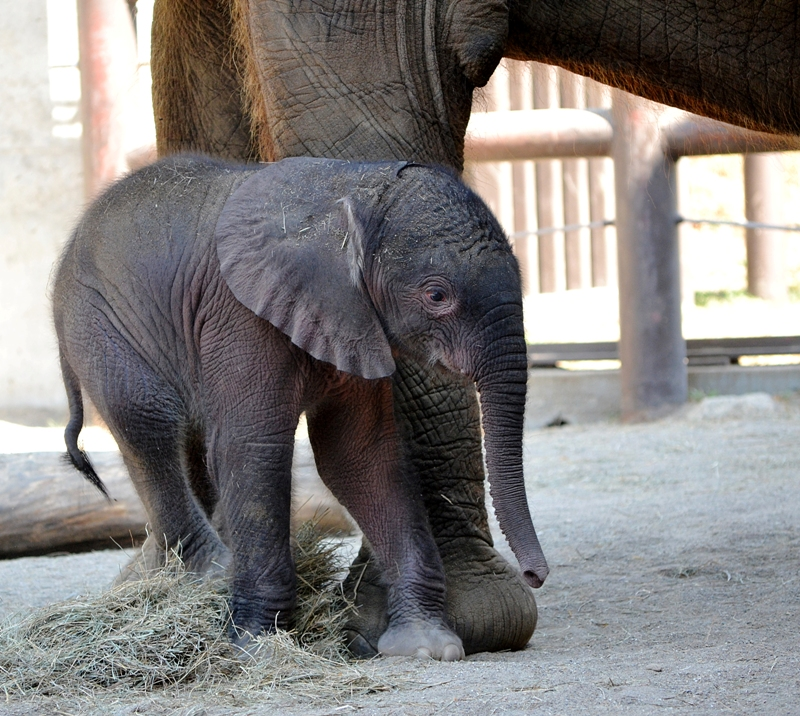 Elephant baby2-7-11-Gabi Moore-rev