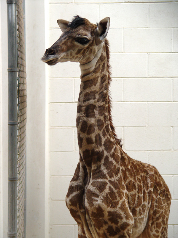 Virginia-Zoo-Giraffe-Baby4
