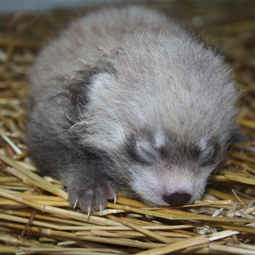2011-Baby-Red-Panda