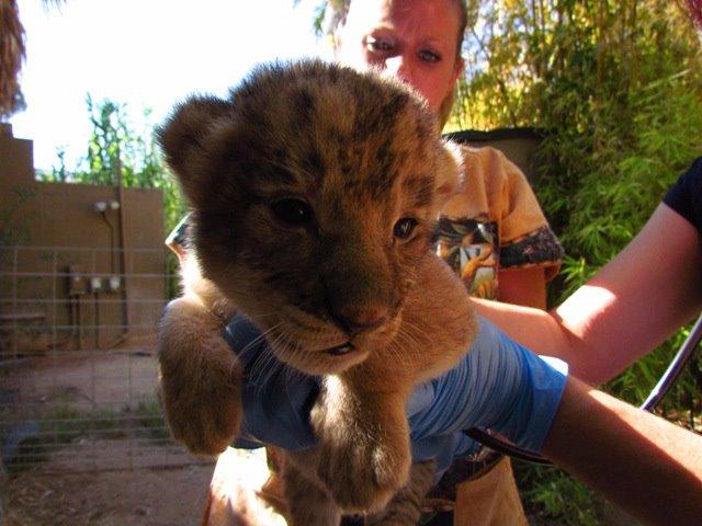 Reid-Park-Zoo-Lion-Cubs4