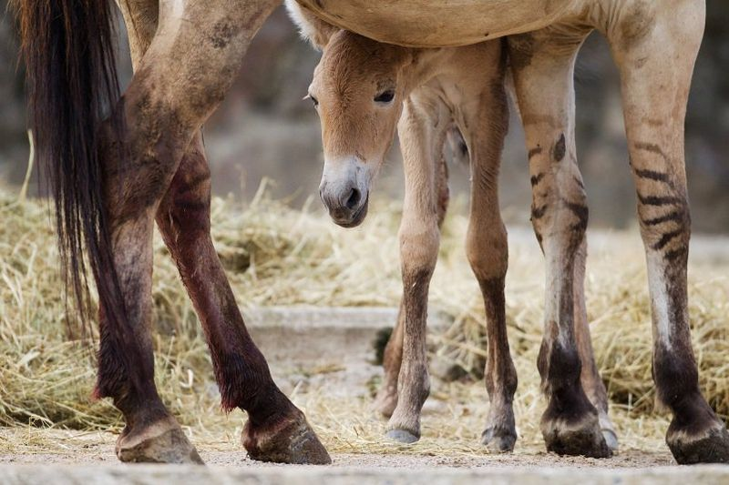 Przewalski's Horse - Prague 9