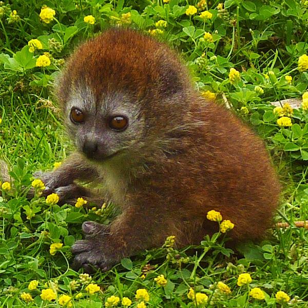 Baby-Gentle-Lemur-