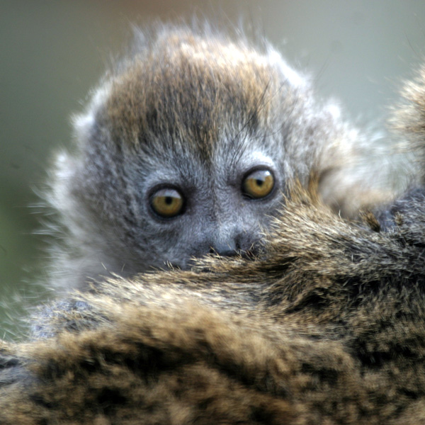 Cute-gentle-lemur