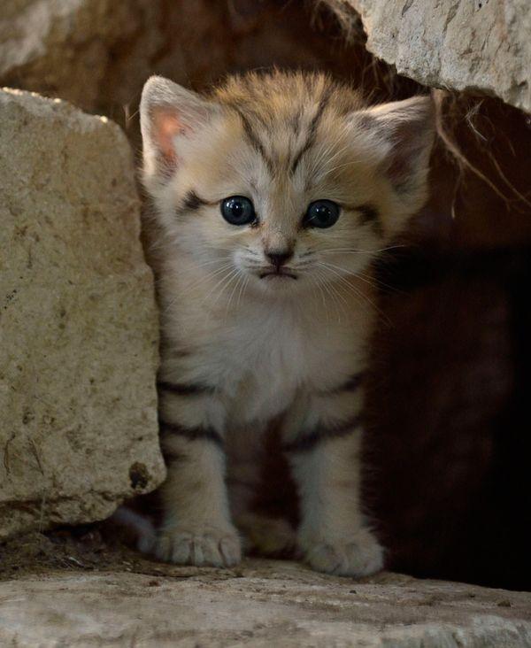 Rare sand kitten birth gives hope for conservation zooborns spiritdancerdesigns Images