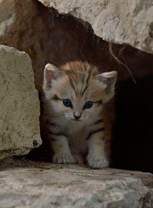 Sand-Cats-Tel-Aviv-Ramat-Gan-5