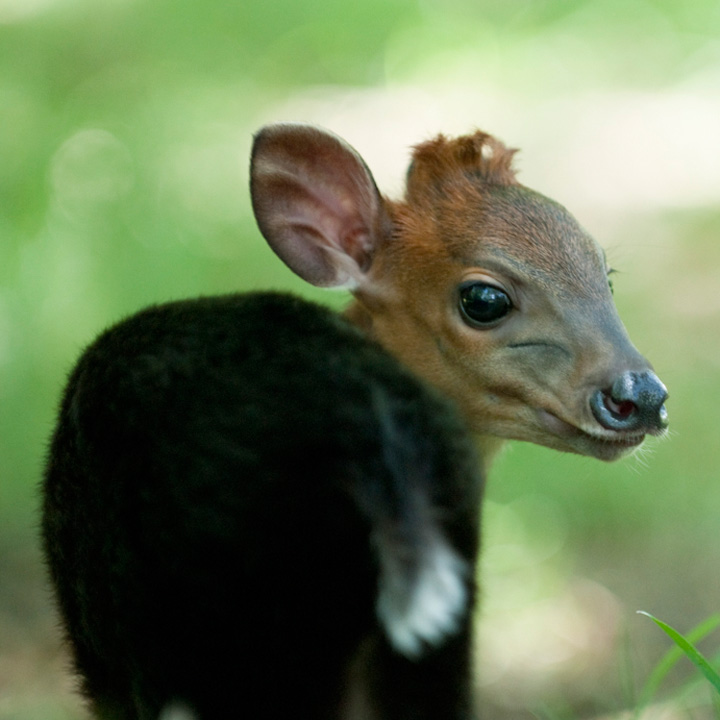 Duiker-baby---G.-Jones,-Columbus-Zoo-and-Aquarium-5