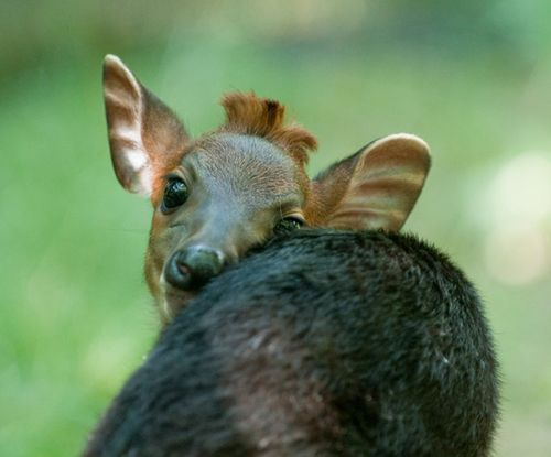 Duiker-baby---G.-Jones,-Columbus-Zoo-and-Aquarium-3