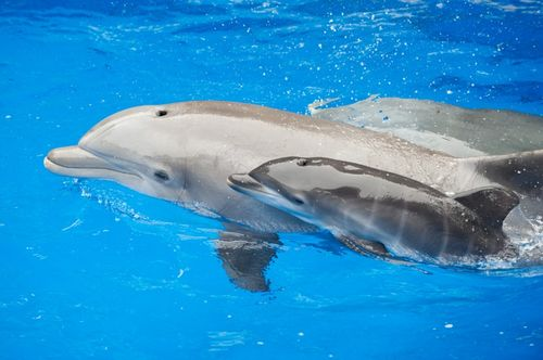 Dolphin Mom Arial and Calf - SeaWorld1