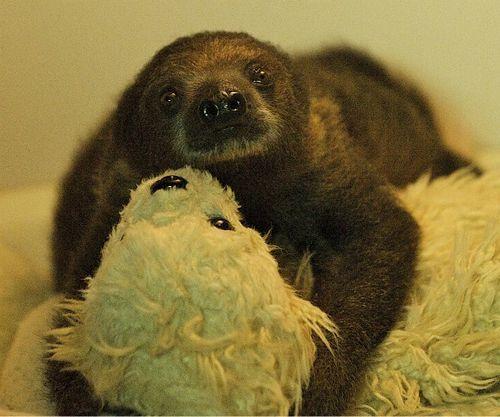 Sid the Baby Sloth at Bristol Gardens 1