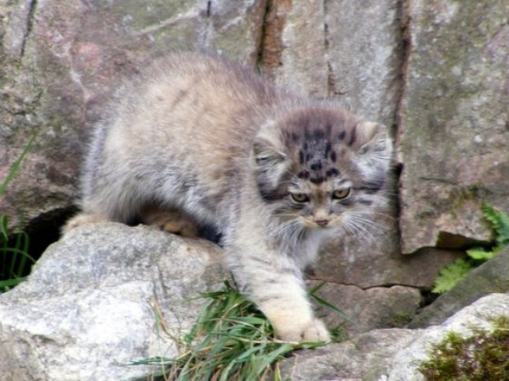 Pallas's Cat Kittens 5