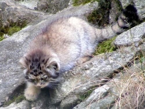 Pallas's Cat Kittens 3