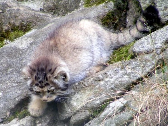 Pallas's Cat Kittens 3