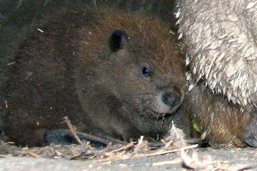 Baby beaver and mom at Jackson Zoological Park 2