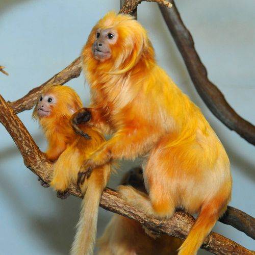 _Julie-Larsen-Maher-9554-Golden-Lion-Tamarin-and-Baby-PPZ-09-01-11