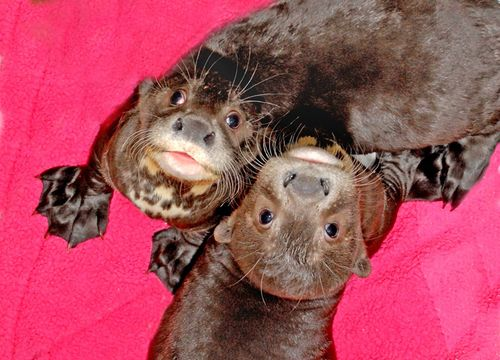 Face-Photo-of-Giant-Otter-Pups-9-16-11_Tad-Motoyama-39052