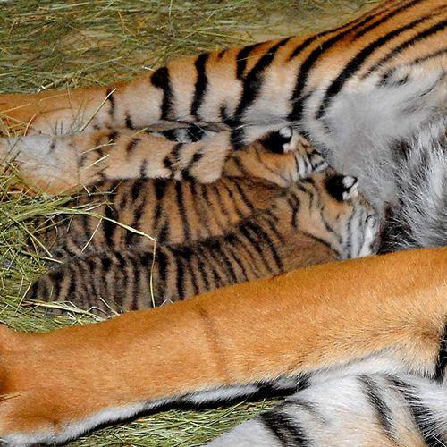 Sumatran-Tiger--Lulu-Nursing-8-13-11_Tad-Motoyama-1543nurse